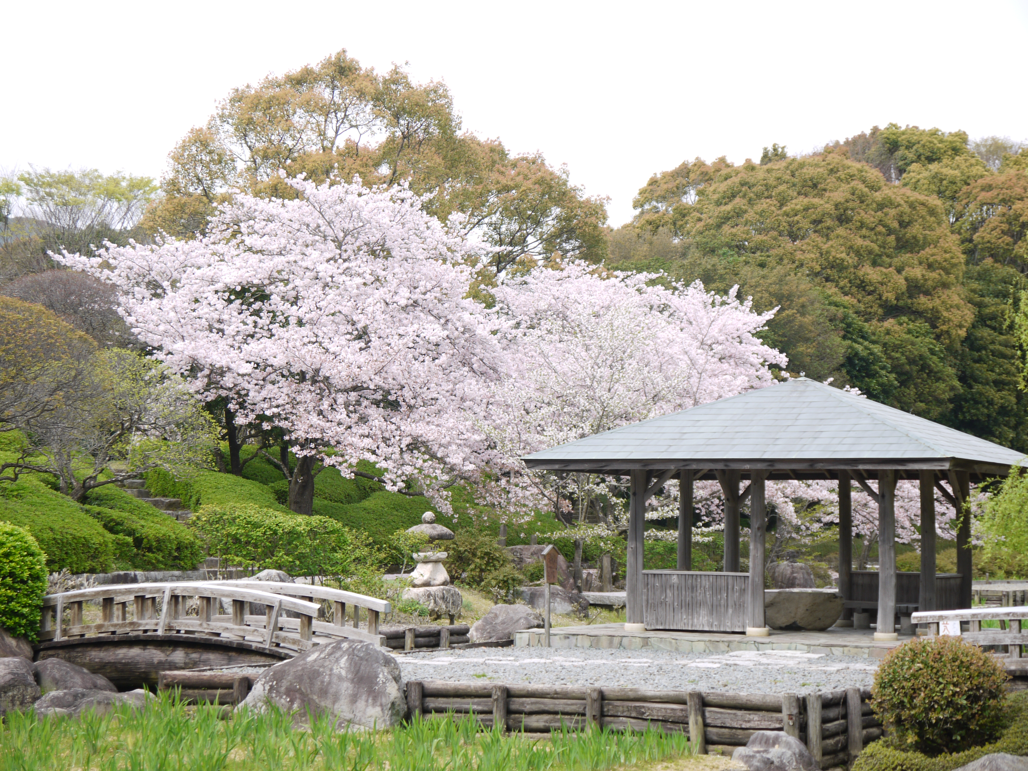 The fleeting beauty of japanese cherry blossoms for Cherry blossom garden japan