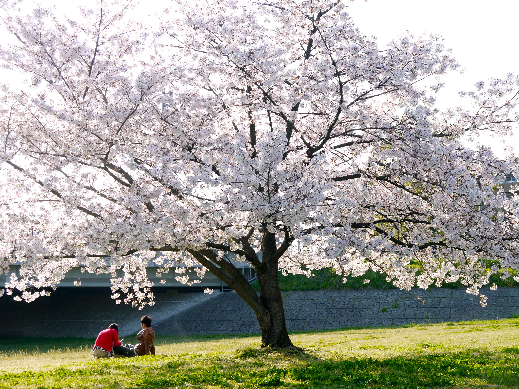 how to say cherry blossom tree in japanese