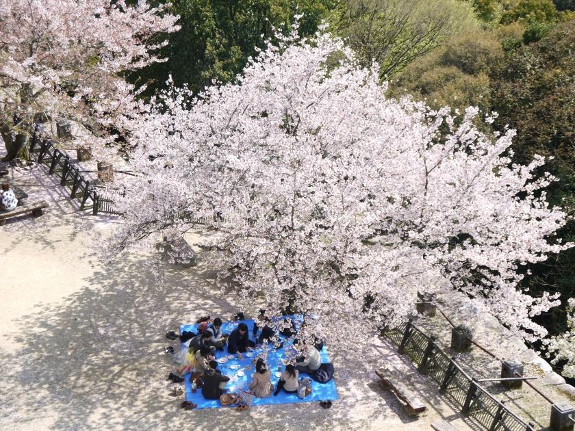 A hanami party near Matsuyama Castle.