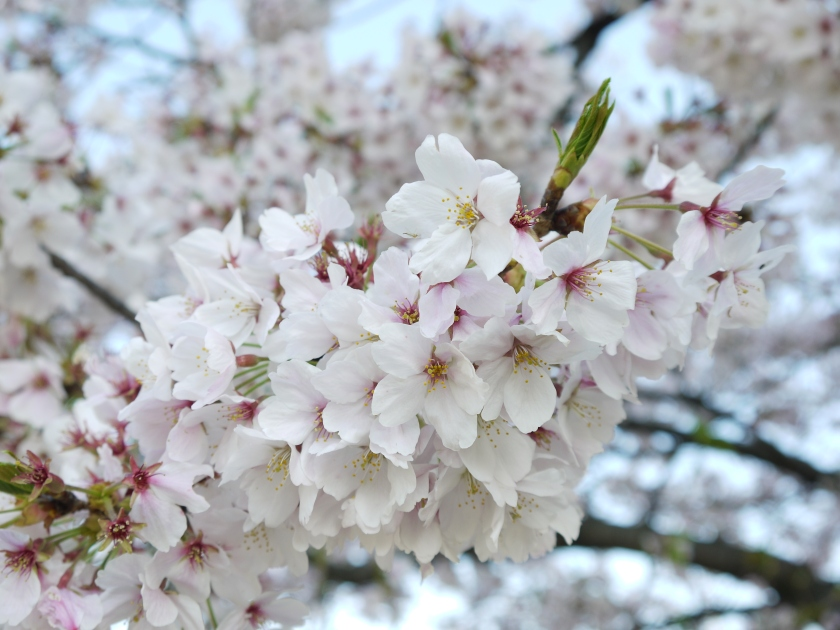 A close-up of sakura.
